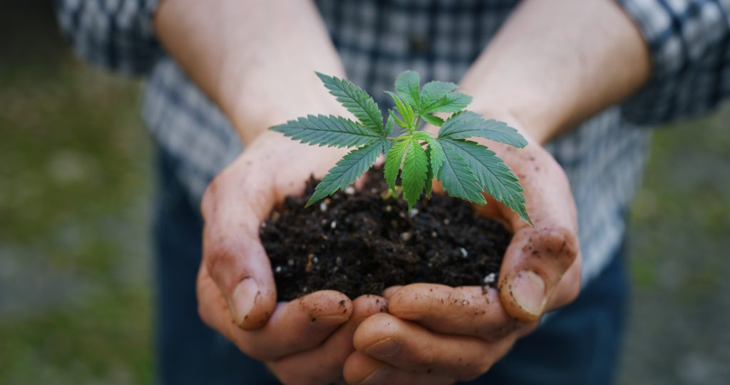 CBD Consumption Forms Close up of agronome hands keeping a sprout of biological and ecological hemp plants used for herbal pharmaceutical cbd oil outside the greenhouse.